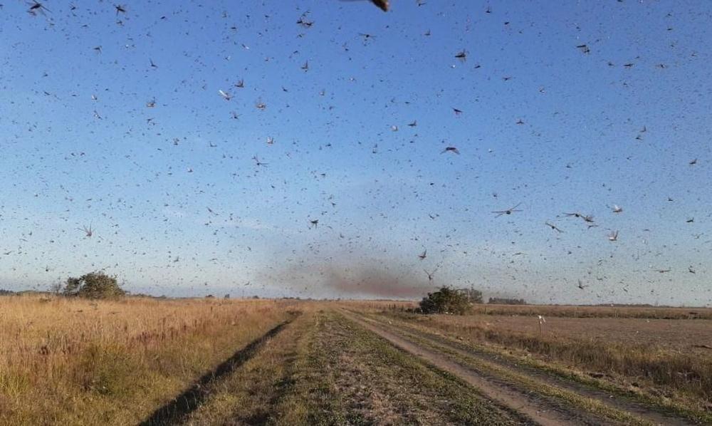 Nuvem de gafanhotos: governo declara emergência fitossanitária